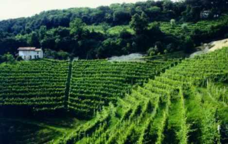 bortolin-vineyards-2